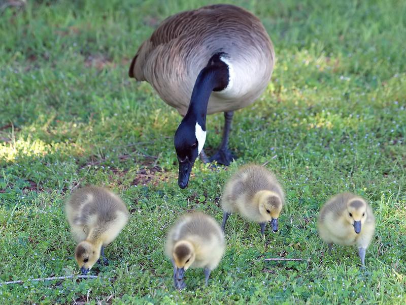 Older Goslings