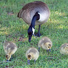 Older Goslings