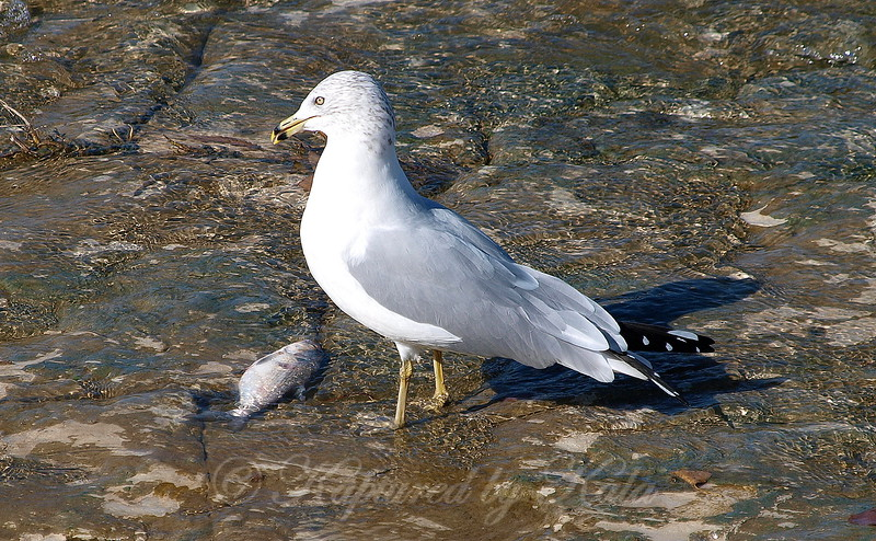 A Fish Kill Means Dinner To A Gull