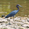 Little Blue Heron On The Rocks