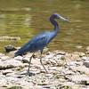 Little Blue Heron On The Rocks