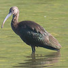 My First White-faced Ibis