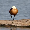 Ruddy Shelduck View 12