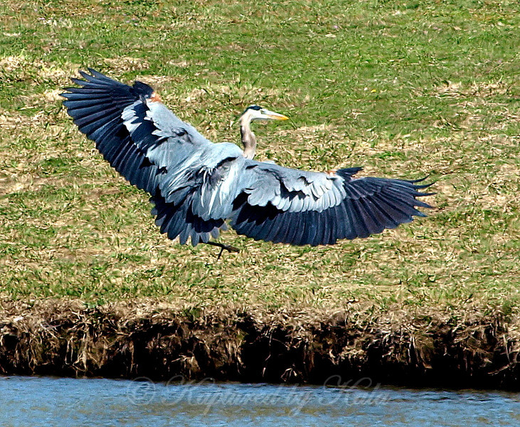 Great Blue Heron Coming In For a Landing