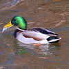 Did You Know Mallards Eat Fish?
