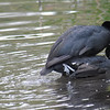 Mating Coots 8 of 8