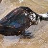 Very Unusual Duck