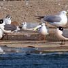 Little Gull View 7