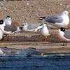 Little Gull View 7