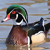 Another Handsome Wood Duck