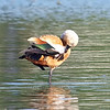 Ruddy Shelduck View 6
