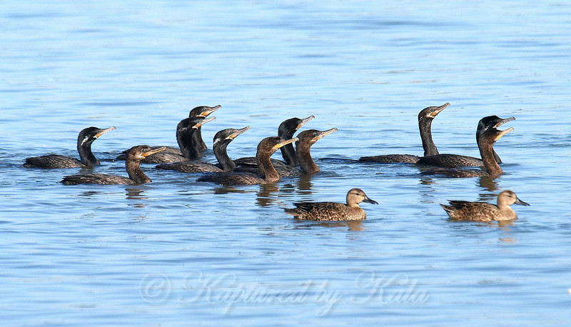 Two Blue-winged Teal Crash The Cormorant Fishing Party