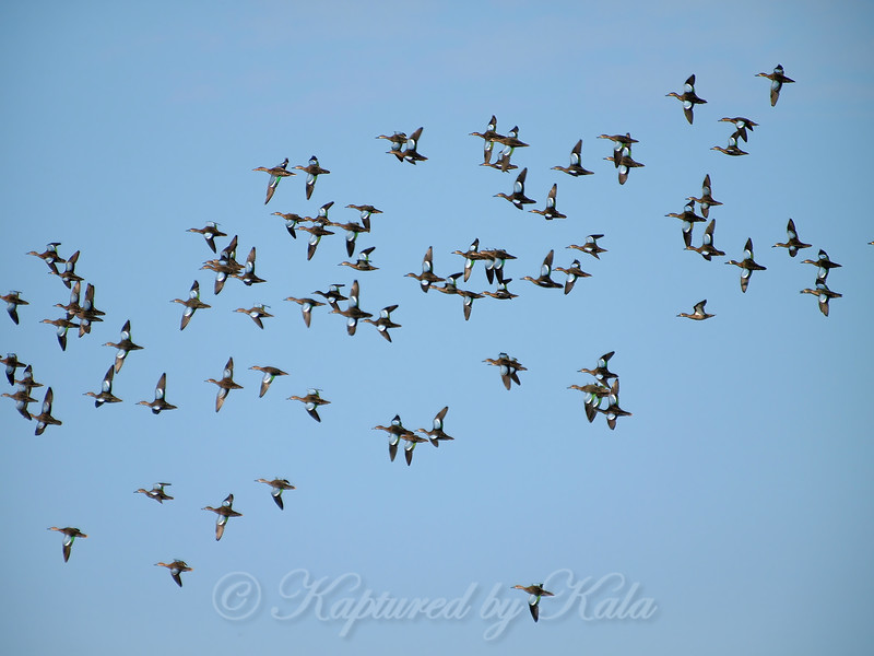 A Flock Of Blue-winged Teal