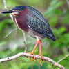 Green Heron In Breeding Colors