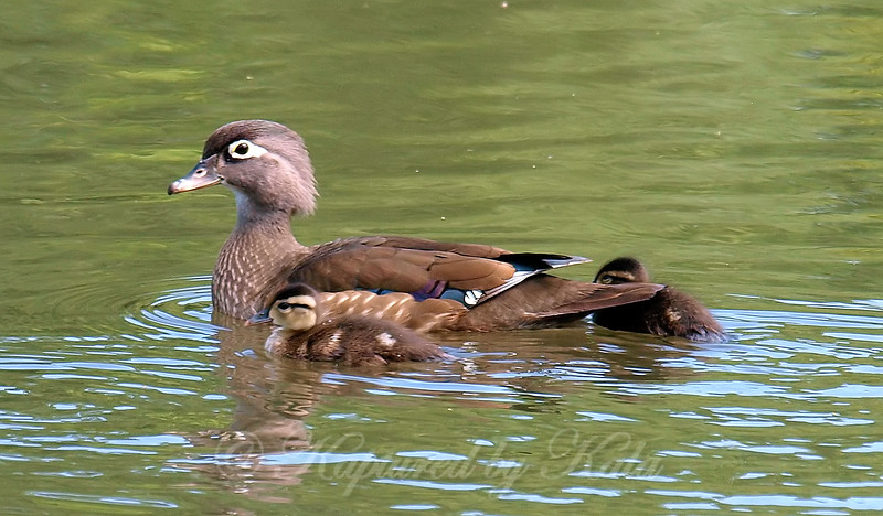 Ms Wood Duck & The Twins