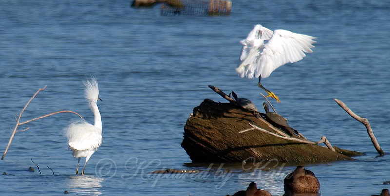 Snowy Egret Action