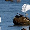 Snowy Egret Action
