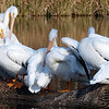 The Pelicans Of White Rock Lake