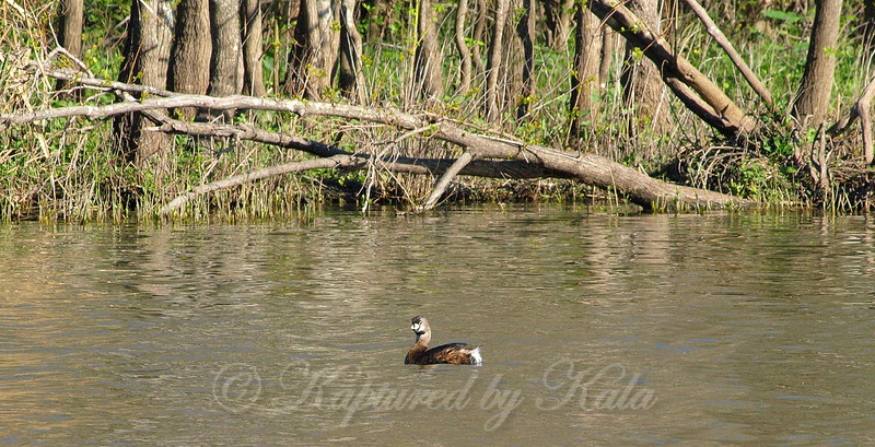 Pied-billed Grebe Giving Me The Eye