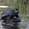 Mating Coots 7 of 8