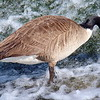 Canada Goose in the Flood Waters