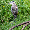 Great Blue Heron Missing Several Toes
