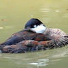 Sleeping Ruddy Duck