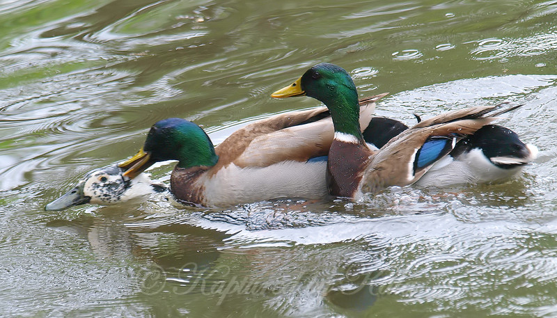 Mallard Mating Behaviors Part 2