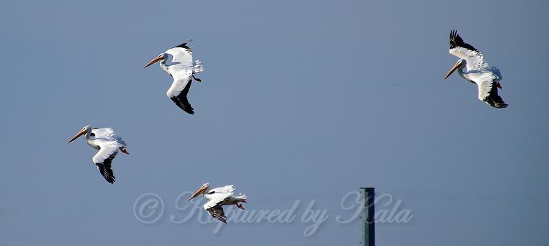 Pelicans In Flight View 2