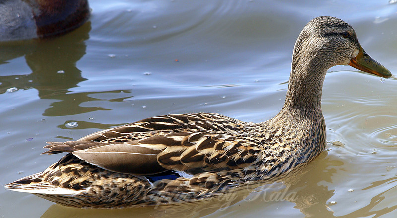 A Beautiful Female Mallard