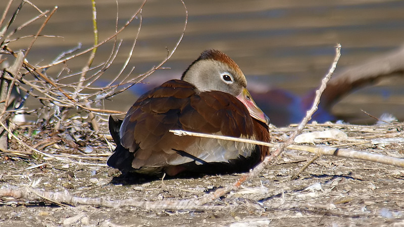 Black-bellied Whistling Duck Trying To  Sleep
