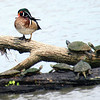 Nervous Wood Duck