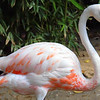 Juvenile Carribbean Flamingo