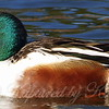 Shoveler Close Up