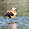 Ruddy Shelduck View 7