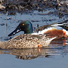 Mr. & Mrs Northern Shoveler