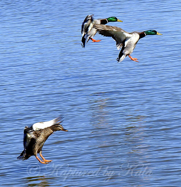 Mallards in flight, two drakes and a hen