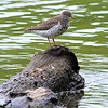 Beautiful Spotted Sandpiper
