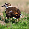 Beautiful Mama Killdeer