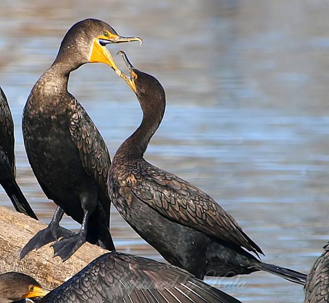 Clash of the Cormorants Part 3