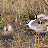 Mr. & Mrs. Pintail