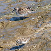 Semipalmated & White-rumped Sandpipers, Must Be Shorebird Migration Time