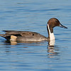 White Rock Lake Resident Pintail