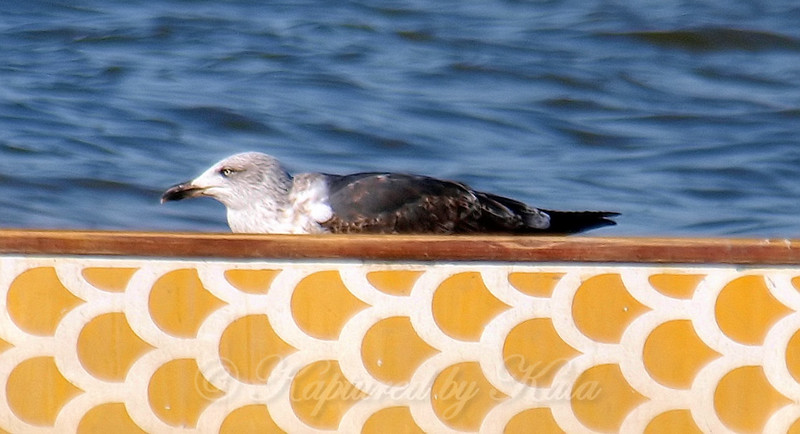2nd Cycle Lesser Black-backed Gull