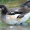 Close-Up Of The Female Chiloé Wigeon