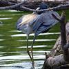 Tri-Colored Heron FishingTechnique view 3 of 3