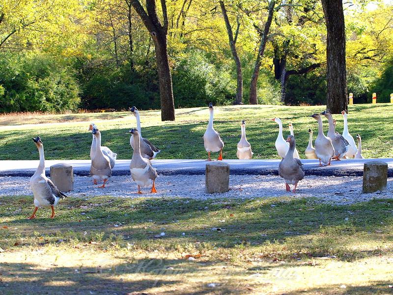 Goose Parade View 1