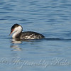 Horned Grebe at Sunset Bay Last View 2