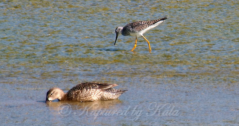 Greater Yellowlegs & Blue-winged Teal