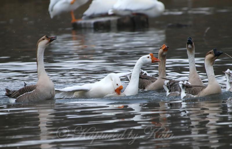 Unusual Goose Breeding Behavior Part 12 of 16
